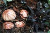 BKSDA Agam menemukan bunga langka Rhizanthes di kawasan Danau Maninjau