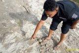 Harimau Sumatera mangsa seekor anak sapi di Sungai Jariang Agam