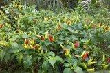 Petani di Tahuna Barat Kepulauan Sangihe mulai panen cabai