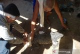 Di Konawe, warga tangkap buaya muara yang masuk di jaring nelayan