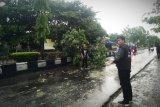 Pohon di Sampit bertumbangan akibat angin kencang