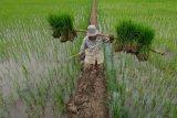 Benih padi varietas unggul bersertifikat