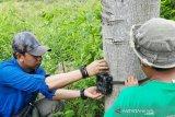 BKSDA South Sumatra installs six other camera traps to avert human-sumatran tiger conflict