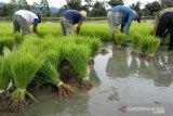 Banjir di Sulteng  rendam ratusan hektare sawah