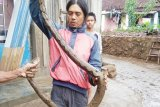Warga Kedamaian Bandarlampung tangkap ular sanca kembang