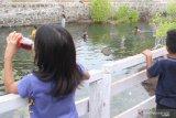 Obyek wisata air panas Oka tercemar limbah ikan