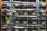 Sejumlah barang bukti satwa burung ditunjukkan di Polairud Polda Jawa Timur, Surabaya, Jawa Timur, Selasa (31/12/2019). Polairud Polda Jawa Timur menangkap lima tersangka kasus dugaan penyelundupan satwa burung dilindungi dan mengamankan barang bukti 201 ekor burung Cucak Hijau (Chloropsis sonnerati) dalam kondisi hidup, empat ekor burung Cucak Hijau (Chloropsis sonnerati) dalam kondisi mati dan dua ekor burung Cucak Jenggot (Alophoixus bres) dalam kondisi hidup. Antara Jatim/Didik/ZK