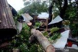 Pohon rumbang akibat angin kencang di Pare-Pare