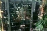 Harimau di Muara Enim belum tertangkap