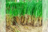 Jateng rekomendasikan penguatan lereng dengan vetiver