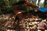 Harga kopra di Sulawesi Utara sentuh Rp8.000 per kilogram
