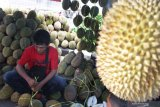Kelewatan, puluhan ribu durian lenyap dalam hitungan menit