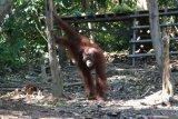 Tiga orangutan dilepasliarkan di Taman Nasional Bukit Raya