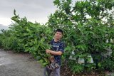 Bibit jambu madu Green Honey tembus pasar nusantara memanfaatkan medsos