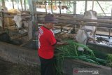 Virus Theileria diduga serang sapi di Sleman