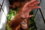 Barang bukti dua bayi Orangutan Sumatera (Pongo abelii) berada di dalam kandang saat gelar kasus perdagangan satwa dilindungi yang dipaparkan oleh petugas gabungan, di Balai Besar Taman Nasional Gunung Leuser (BBTNGL) di Medan, Sumatera Utara, Jumat (10/1/2020). Petugas gabungan terdiri dari BBTNGL, Balai Pengamanan dan Penegakan Hukum Lingkungan Hidup dan Kehutanan Wilayah Sumatera, BBKSDA Sumut dan Yayasan Orangutan Sumatera Lestari Orangutan Information Centre (YOSL-OIC) berhasil menyita dua bayi Orangutan Sumatera yang akan dijual pemburu melalui media sosial. ANTARA FOTO/Irsan Mulyadi/ama.