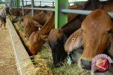 Pemotongan sapi di RPH Bantul turun akibat kasus antraks Gunung Kidul