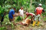 Sapi warga Lubukbasung mati dengan robek di tubuhnya, petugas temukan jejak harimau