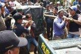 Harimau masuk perangkap di Muara Enim dievakuasi ke Lampung