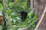 Beruang Madu liar masuk Pemukiman warga di Dumai