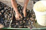 Petani memperlihatkan kerang sungai atau lokan (Polymesoda expansa) hasil budidaya saat panen di Desa Peunaga Rayeuk, Meureubo, Aceh Barat, Aceh, Jumat (24/1/2020). Budidaya lokan selain dapat memanfaatkan lahan pinggir pantai juga dapat menguntungkan petani karena tidak perlu mengeluarkan biaya tambahan untuk pakan. Antara Aceh/Syifa Yulinnas.