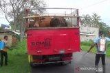 Jateng batasi lalu lintas ternak antisipasi zoonosis