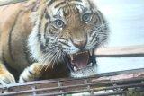 Warga diresahkan harimau mangsa sejumlah ternak sapi