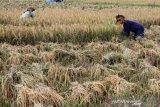Petani memotong padi dengan cara tradisional saat panen di area persawahan Desa Lapang, Kecamatan Lapang, Aceh Barat, Aceh, Senin (27/1/2020). Kementerian Pertanian menargetkan produksi padi tahun 2020 sebesar 59,15 juta ton gabah kering giling (GKG) dan angka tersebut lebih rendah dari tahun 2019 yang mencapai 80,08 juta ton. Antara Aceh/Syifa Yulinnas.