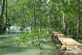 Mangrove Tanjungpunai cocok untuk budi daya  kepiting belangkas