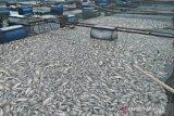 10 ton ikan mati akibat hujan deras