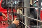 Sepasang beruang disita polisi dari masyarakat Pelalawan