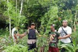 Polres Keerom ciduk pemilik ladang ganja seluas satu hektare distrik Waris