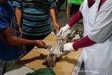 BBKSDA Riau sesalkan kematian bayi Leopard di Kebun Binatang Kasang Kulim