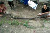 Berbekal menonton video Panji Petualang di Youtube, warga berhasil tangkap king kobra sepanjang 3 meter