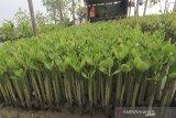 Warga menanam bibit mangrove untuk dijual di desa Pabean ilir, Pasekan, Indramayu, jawa Barat, Rabu (5/2/2020). Warga setempat membudidayakan bibit mangrove untuk dijual ke berbagai daerah dengan harga Rp1.500 per bibit. ANTARA JABAR/Dedhez Anggara/agr