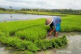 Kulon Progo mengintensifkan pendampingan penanaman padi organik