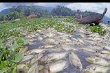 Nelayan mengayuh perahu diantara ikan-ikan yang mati di Linggai, Danau Maninjau, Kab.Agam, Sumatera Barat, Jumat (7/2/2020). Data Pemkab Agam, kematian massal ikan keramba sebanyak 63 ton tersebut terjadi akibat angin kencang melanda daerah itu selama tiga hari terakhir, sehingga oksigen berkurang di dasar perairan, dan petani ikan mengalami kerugian mencapai Rp1,64 miliar. ANTARA FOTO/Iggoy el Fitra/nym