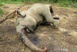 Gajah sumatera mati di Riau