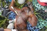 Satu Induk betina orangutan bernama Mama Rawa terbaring di dalam kandang setelah diselamatkan di tepi Jalan Pelang-Tumbang Titi Km 9 di Desa Sungai Pelang, Kecamatan Matan Hilir Selatan, Kabupaten Ketapang, Kalimantan Barat, Minggu (2/2/2020). Dalam kesempatan tersebut IAR Indonesia dan BKSDA Kalbar berhasil menyelamatkan satu induk betina orangutan serta anaknya dari sebuah pohon kering di hutan yang telah mengalami kerusakan parah akibat kebakaran besar pada 2019 lalu, sementara satu orangutan jantan lainnya meloloskan diri saat hendak diselamatkan. ANTARA FOTO/HO/IAR Indonesia-Heribertus Suciadi/jhw/foc.