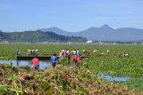 Lantamal VIII bersama masyarakat bersih-bersih eceng gondok Danau Tondano