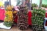 Kepok Tanjung,   pisang tanpa jantung yang membawa untung