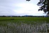 Hujan mulai rendam areal sawah di Kabupaten Maros