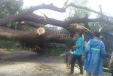 Pohon ukuran raksasa di Kediri tumbang diterjang angin