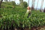213.899 hektare tanaman jagung berpotensi diserang ulat grayak