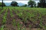 Masyarakat Sikka gelar ritual adat meminta hujan