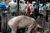 Satpol PP beri batasan waktu relokasi peternakan babi di Panaikang Makassar