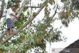 Produksi durian Temanggung anjlok hingga 70 persen