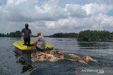 Virus Hog Cholera dan ASF, 48.000 ekor babi mati di Sumut