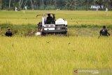 Petani memanen padi menggunakan mesin potong padi modern di areal persawahan Indrapuri, Aceh Besar, Aceh, Minggu (16/2/2020). Para petani didaerah tersebut mulai memilih menggunakan mesin pemotong padi  modern karena proses panen lebih cepat dan efesien dengan upah Rp350 permeter atau menggunakan sistem bagi hasil. Antara Aceh/Irwansyah Putra.