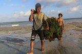Sumba Timur percontohan industrialisasi rumput laut nasional